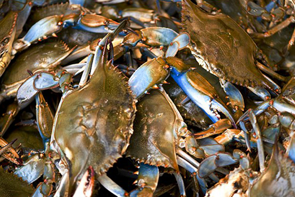 Florida Blue Crabs